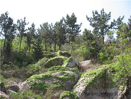 二龙山岩石上的爬山虎,它把须刺进岩石上细小的空隙中,非常牢实,想扯下来还不容易。人类攀岩的技巧估计也受到了它们的启发。