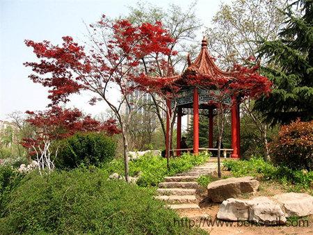 即墨墨河公园里的鸡爪槭(鸡爪枫)