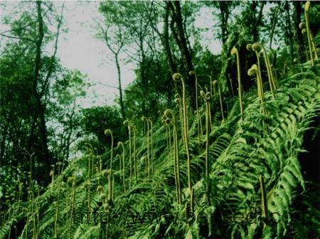 蕨菜图片2