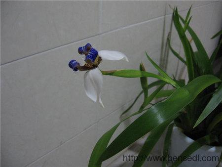 兰草花图片