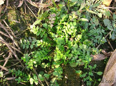 碎叶或散叶荠菜图片