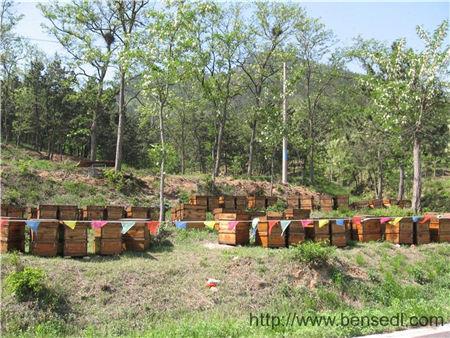 青岛铁骑山脚的蜜蜂