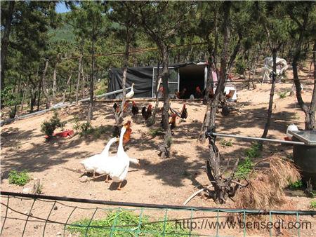 青岛铁骑山上的公鸡和鹅