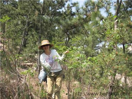 青岛二龙山上臭椿图片