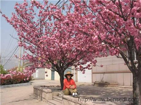 青岛樱花图片
