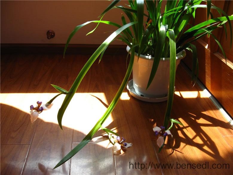 三月盛开的兰花图片