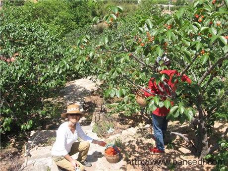 青岛棉花山的樱桃熟了