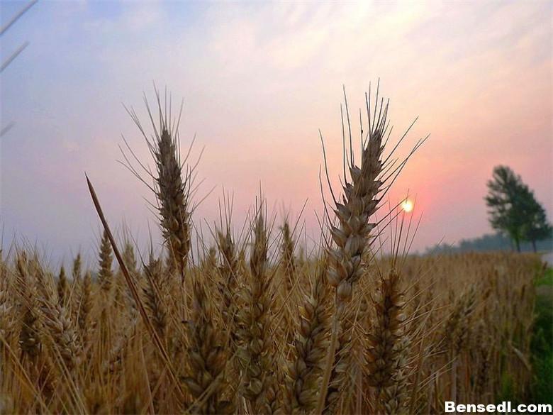 夏至熟麦子图片