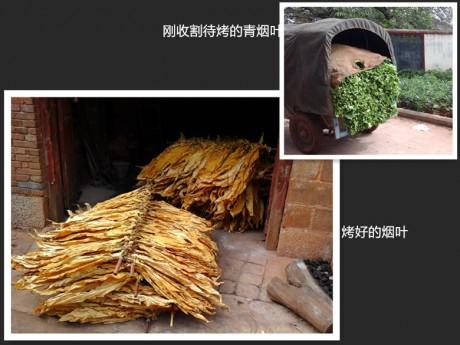 西一镇油榨村烤烟图片