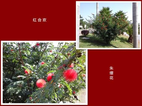 红合欢朱缨花图片