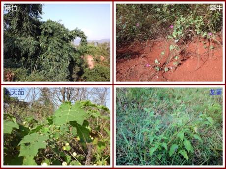 刺天茄和龙葵图片