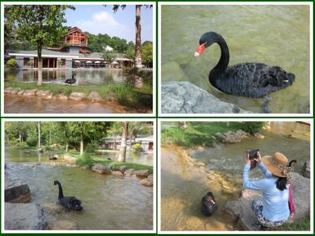 弥勒湖泉生态园黑天鹅图片
