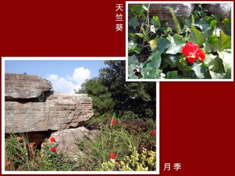 月季和天竺葵图片