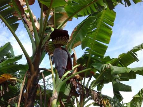 西双版纳芭蕉花图片1