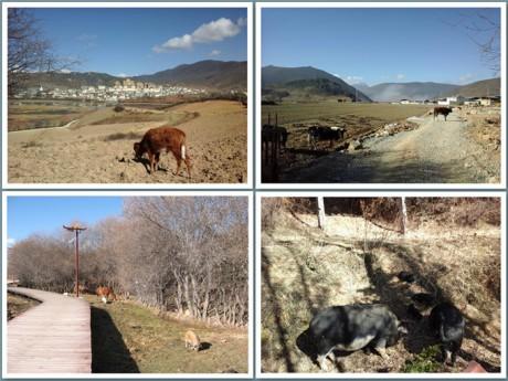 香格里拉松赞林景区动物图片2