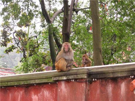 黔灵山弘福寺猕猴图片2